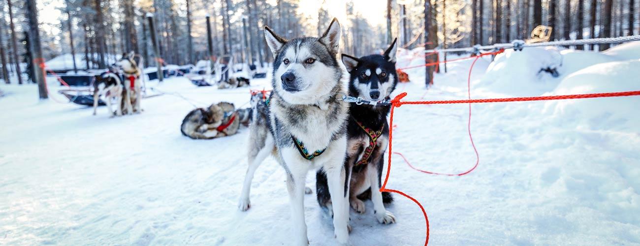 Chiens de traîneaux en Laponie