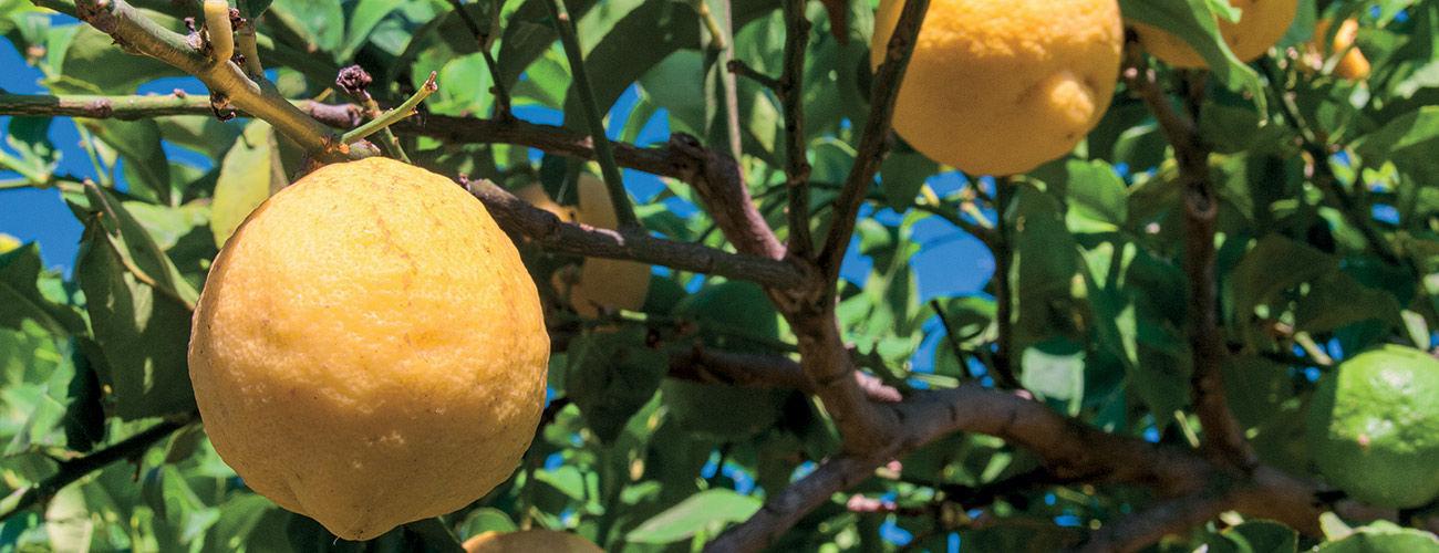 Citrons d Sicile